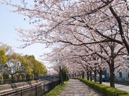 桜の画像 p1_7
